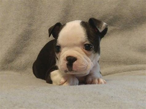 puppies for sale in lima ohio 25 best ideas about boston terrier puppies on baby boston terriers