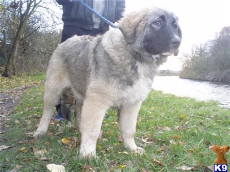 ovcharka puppies for sale in usa caucasian shepherd puppies for sale in usa breeds picture