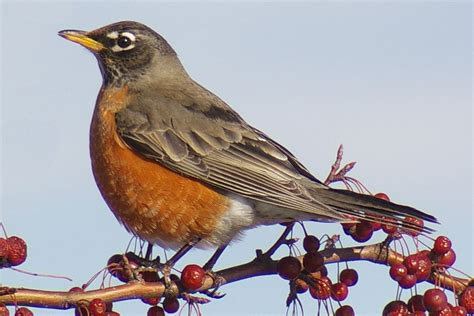 most common backyard birds most common backyard birds in the u s