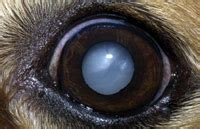 nuclear sclerosis in dogs cataracts how to uncover the imposter lenticular sclerosis