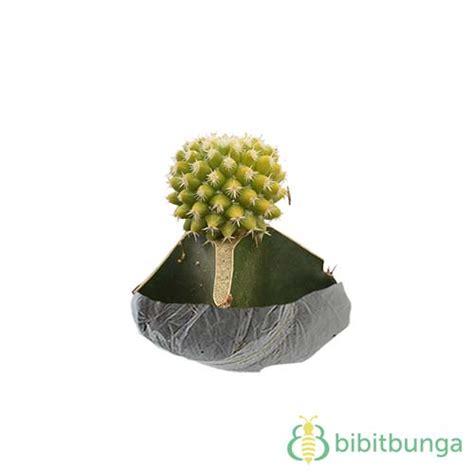Bibit Tanaman Hias Cactus Dan Succulent Mammillaria Elongata tanaman kaktus centong bibitbunga