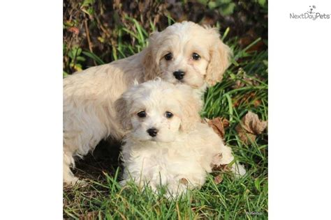 buttercup puppies meet buttercup a cockapoo puppy for sale for 475 buttercup