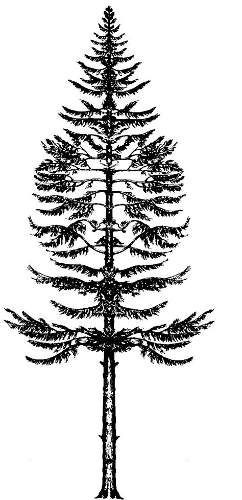 douglas fir tattoo douglas fir search you
