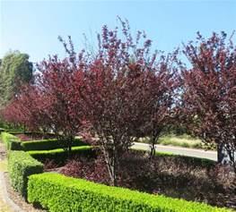 2 purple leaf ornamental plum prunus nigra plants tree foliage spring flower ebay