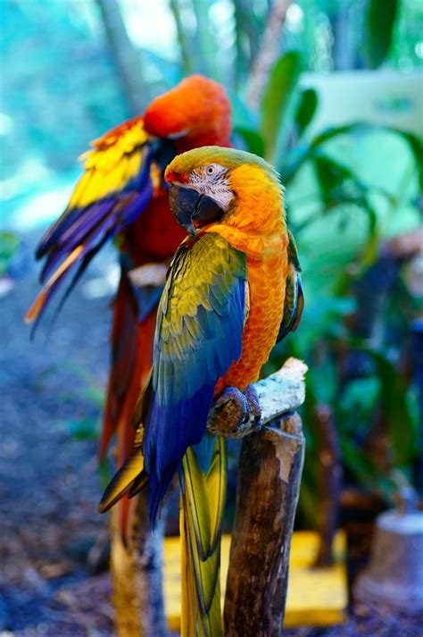 parrots in paradise kealakekua hawaii exotic bird best 106 birds of paradise parrots toucans images on