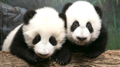Toronto Zoo Gift Card - why are pandas black and white home quirks quarks with bob mcdonald cbc radio