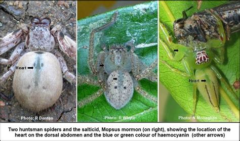 what color is spider blood the find a spider guide spider info