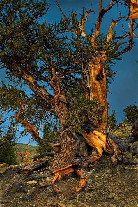 bristlecone pine tree california mystic trees