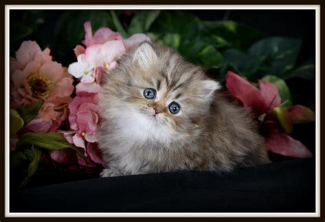 golden chinchilla teacup rug hugger kitten for saleultra