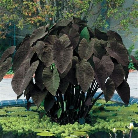 elephant ears black magic colocasia esculenta