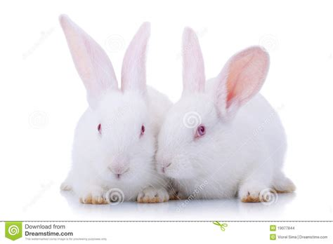 Cute White Baby Bunnies   Amazing Wallpapers