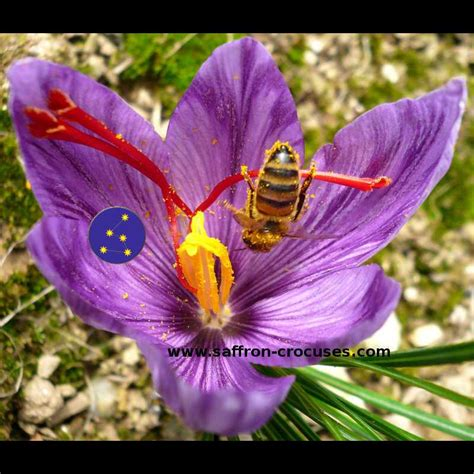 downloadable picture crocus sativus bloom saffron