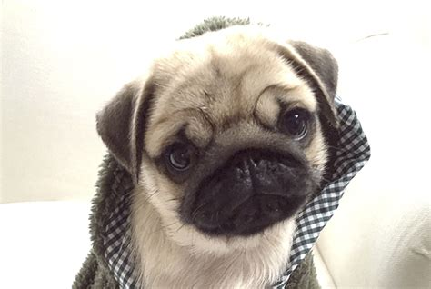what age do pugs live to social pug profile milo the pug diary