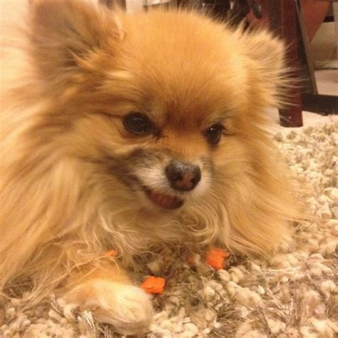 can pomeranians eat carrots are baby carrots safe for pomeranians