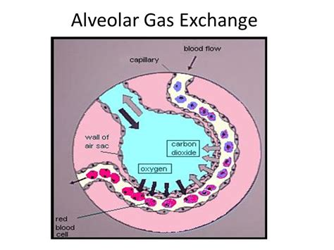 gas exchange bing images in the alveoli gas exchange bing images