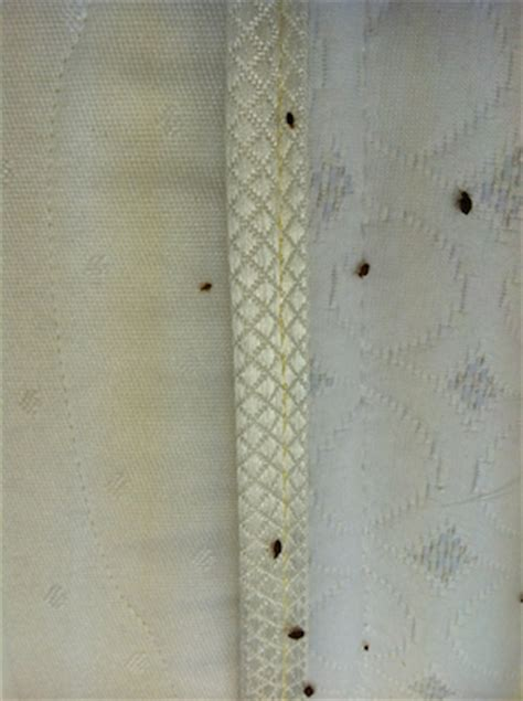 small bed bugs small bed bug infestation pictures to pin on pinterest