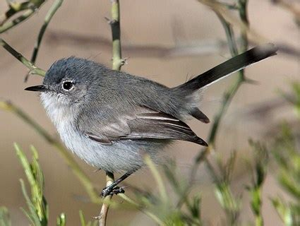 black tailed gnatcatcher identification all about birds