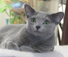 Do Russian Blue Cats Shed by 13 Most Expensive Cat Breeds In The World