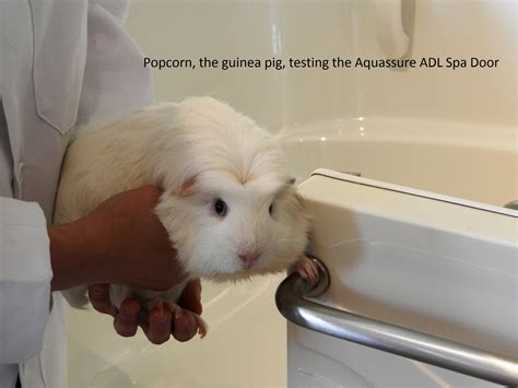 Bath Tubs And Showers why yes aquassure tests all its bathtubs by guinea pigs