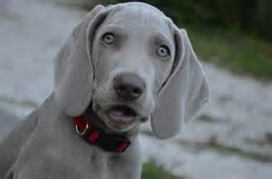Dog Free Photo Dog Puppy Hound Weimaraner Eyes Free