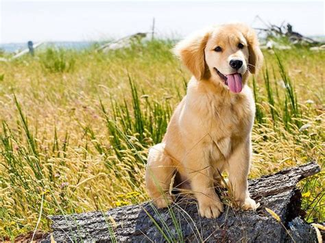 why were golden retrievers bred can you match the puppies breed to its original purpose just by an image playbuzz