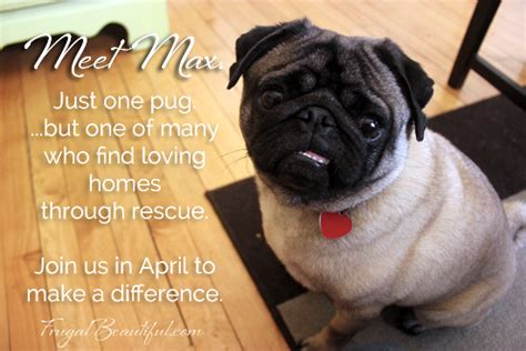 how much money are pugs meet max just one pug whose has benefited from pug rescue and needs your help