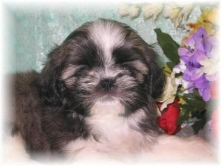 shih tzu puppies for sale in ms shih tzu puppies for sale in mississippi imperial shih tzu puppies breeds picture