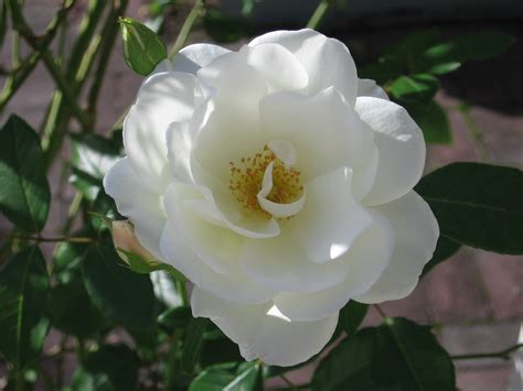 white flower images file white flower rose jpg wikimedia commons