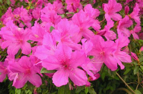 azalea care home garden information center