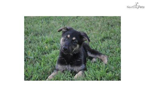 german shepherd puppies arkansas meet rocksy a german shepherd puppy for sale for 100 100 00 up in arkansas