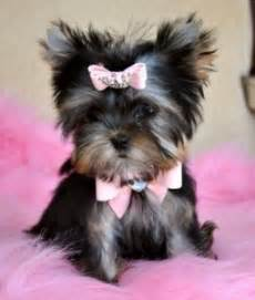 yorkie puppies for free in utah dogs utah free classified ads
