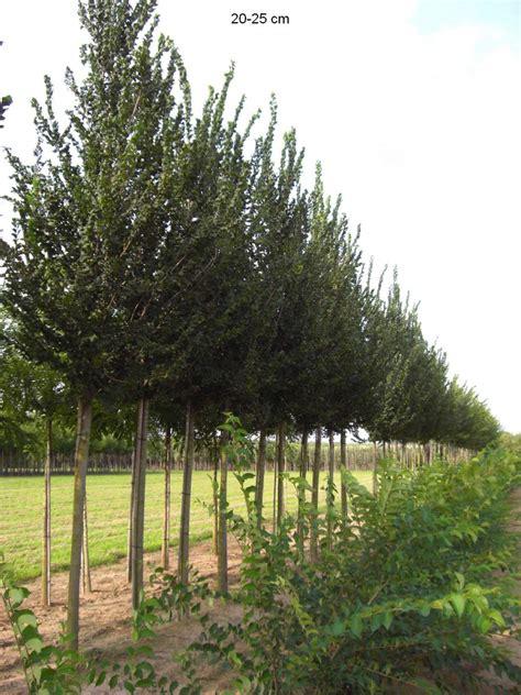 steckdosensäulen für den garten s 195 164 ulen ulme ulmus columella kaufen mr pflanzenvertrieb