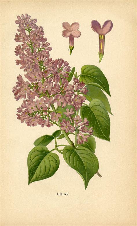 printable botanical images vintage botanical printable lilac instant art the