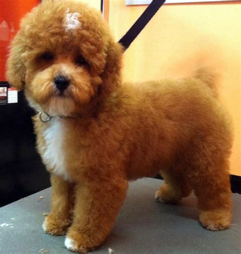 puppy cut poodle poodles puppys and i want on