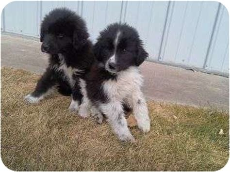 puppies for adoption in nebraska aussie collies adopted puppy alliance ne australian