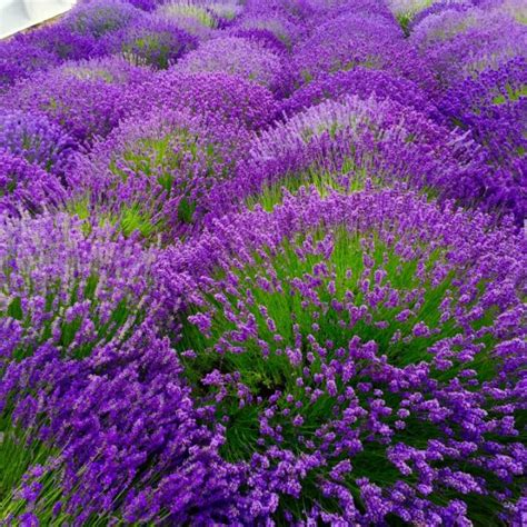 when is lavender in season in michigan lavender wreath making workshop 100 kindle books to