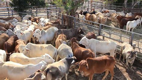 brahman beef cattle cow livestock in sale yard pens