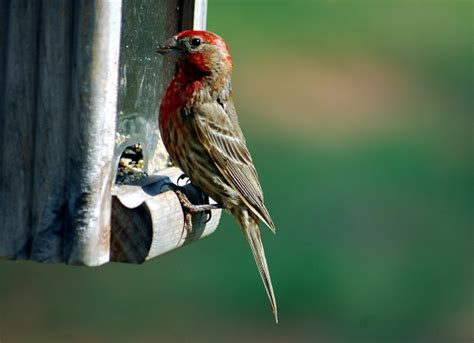 red house finch red headed house finch free stock photo public domain pictures