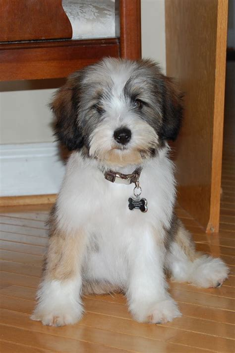 hair cuts for the tebelan terrier cute tibetan terrier hair cuts 43 best images about