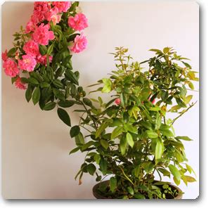 buy creeper rose plant   nursery