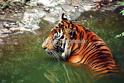 Harimaun Sumatera harimau sumatra panthera tigris sumatrae wwf indonesia