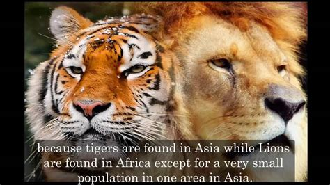 Fight Like A Tiger Win Like A Chion Darmadi Darmawangsa 1 new discovery tiger vs fight real fight who would win part 2