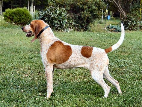 Redtick Coonhound Dogs | Dogzone NYC