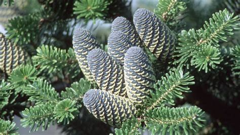koreatanne weihnachtsbaum mit speziellem wuchs