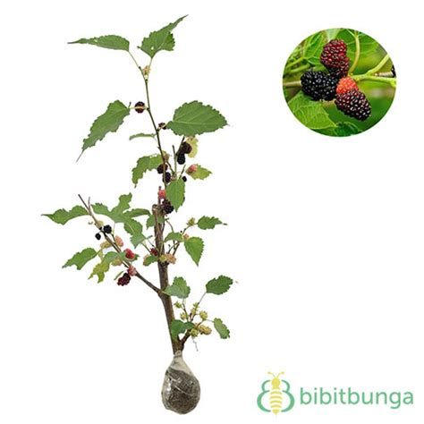 Bibit Bonsai Murah bibit tanaman murah bonsai murbei toko terbaik