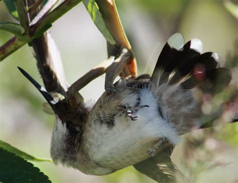 preying mantis preys upon ruby throated hummingbird what