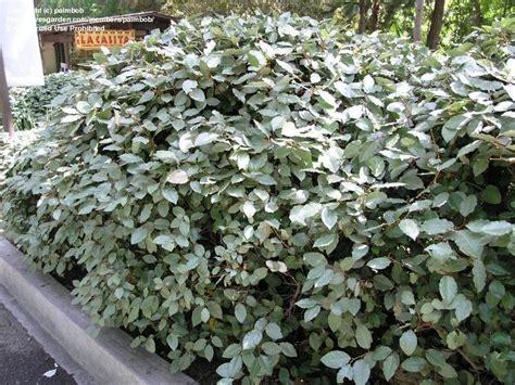 What Garden Zone Am I In By Zip Code - plantfiles pictures silverthorn thorny olive thorny elaeagnus pungent elaeagnus elaeagnus