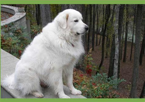 grand pyrenees great white pyrenees breed breeds picture
