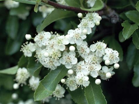 evergreen shrubs with white flowers the firethorn is a spiny evergreen with white flowers and