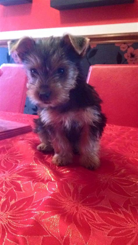 yorkie dogs for sale terriers for sale stockport greater manchester pets4homes
